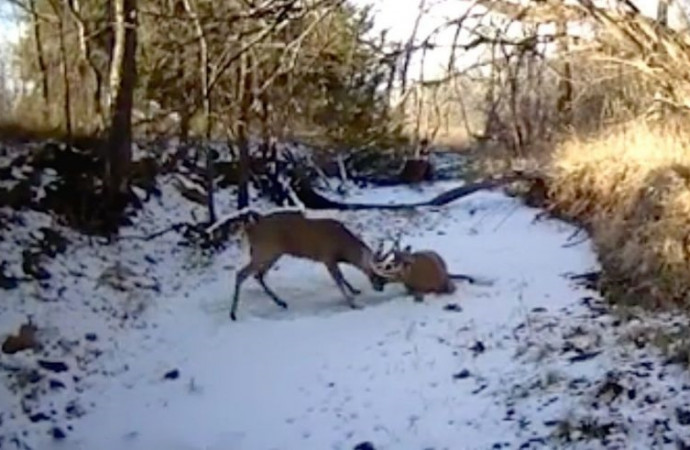 'Lucky' shot by game warden frees two deer with tangled antlers; video